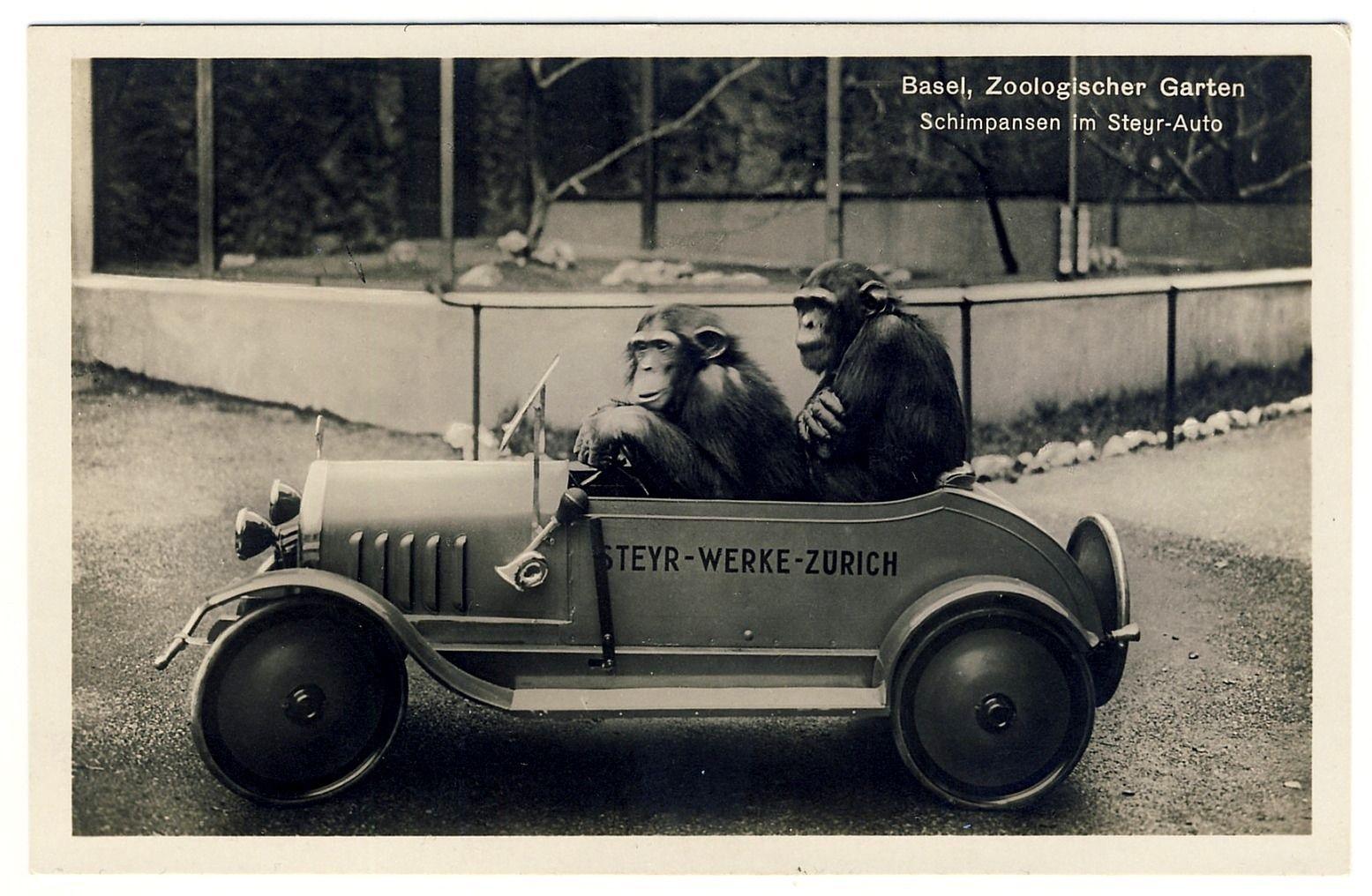 BASEL-Zoo-Schimpansen-im-Steyr-Auto.jpg