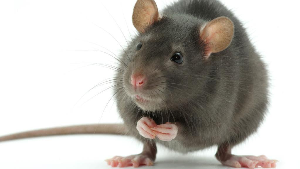 rat_swiss.jpg